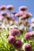 Daisy, Double daisy, Bellis perennis, side view of pink flowers growing outdoor. with blue sky behind.
