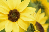 Sunflower, Common sunflower, Helianthus annuus, Close up detail of yellow coloured flower growing outdoor.