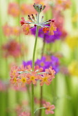 Primrose, Candelabraprimula, Primula bulleyana, Peach coloured flowers growing outdoor.