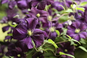 Clematis, Clematis 'Westerplatte', Clematis viticella 'Westerplatte'. Close up of purple coloured flowers growing outdoor.