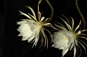Cactus, Orchid cactus, Epiphyllum cultivar, Flower of the Night,  Exootic white flowers against a black background.