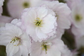 Cherry, Prunus cultivar, Close up of delicate pink coloured flowering blossom.