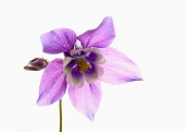 Aquilegia, Columbine, Single stem of plant with pale purple head set against a pure white background.