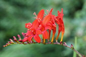 Crocosmia, Montbretia 'Lucifer', Crocosmia 'Lucifer',  Arching flower head of red coloured flower against a muted green background.