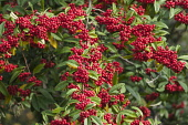 Cotoneaster, Himalayan tree cotoneaster, Cotoneaster frigidus, Plant covered in red berries.