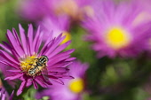 Aster, Hoverfly Helophilus pendulus, pollinating a Michaelmas Daisy flower in garden border.
