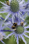 Sea holly, Eryngium zabelii, Bumble bee Bombus terrestris & honey bee Apis mellifera, pollinating flowerhead in garden border.