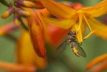 Crocosmia, Crocosmia Montbretia, Hoverfly Episyrphus balteatus, feeding on orange flower in a garden.