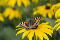 Coneflower, Black-eyed Susan, Rudbeckia, Small Tortoiseshell butterfly Aglais urticae, feeding on yellow flower.