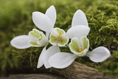 Snowdrop, Common snowdrop, Galanthus nivalis, Whie flowers growing outdoor in mossy bark.