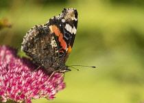 Sedum, Red Admiral butterfly Vanessa atalanta, feeding on a pink flowerhead in garden border.
