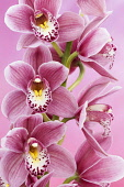 Orchid, Cymbidium, Studio shot of pink flowers shing stamen.