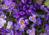 Crocus, Early crocus, Crocus tommasinianus, Aerial view of purple flowers  showing orange  stamens & pollen.