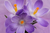 Crocus, Early crocus, Crocus tommasinianus, Studio shot of purple flowers  showing orange  stamens.