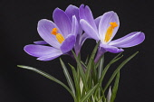 Crocus, Early crocus, Crocus tommasinianus, Studio shot of purple flowers  showing orange  stamens.