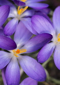 Crocus, Early crocus, Crocus tommasinianus, Purple flowers  showing orange stamens growing ourtdoor.