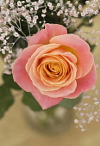 Rose, Rosa, Studio shot of single peach coloured flower with gypsophila in vase.