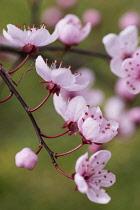 Cherry plum, Black cherry plum, Prunus cerasifera 'Nigra', Pink blossom & leaves  opening together in garden border.
