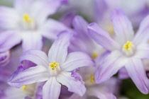 Glory of the snow, Chionodoxa, Studio shot close up of mauve coloured flowers.