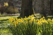 Daffodil, Narcissus, Clusters of backlit yellow flowers gowing outdoor.
