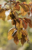Beech, Copper beech, Fagus sylvatica purpurea, Backlit veined leaves with raindrops.