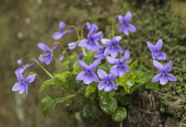 Violet, Dog violet, Viola riviniana, Cluster of mauve flowers on mossy rocks in the rain.