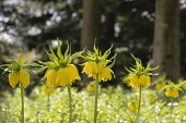 Fritillary, Crown imperial 'Maxima Lutea', Fritillaria imperialis 'Maxima Lutea', Backlit yellow flowers growing outdoor.