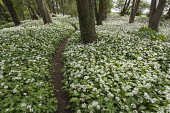 Wild garlic, Ramsons, Allium ursinum; Carpet of tiny white flowers in woodland with path.