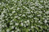 Wild garlic, Ramsons, Allium ursinum; Carpet of tiny white flowers in woodland.