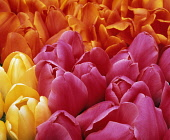Tulip, Tulipa, Mass of pink, orange and yellow coloured flowers.