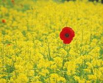 Poppy & Oilseed rape, Papaver rhoeas & Brassica oleracea, Yellow subject.