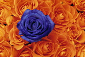 Rose, Rosa, Single Blue flower in mass or orange blooms.