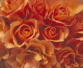 Rose, Rosa, Close up of mass of peach coloured flowers.