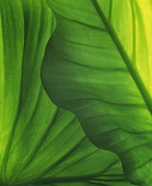 Leaf, Green subject, Detail of back lit leaves showing pattern.