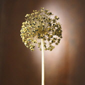 Allium, Studio shot of seedhead.