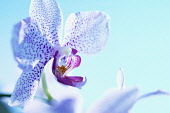 Orchid, Moth orchid, Phalaenopsis, Studio shot offlower against blue background.