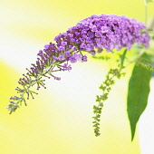 Buddleja, Studio shot of purple coloured flower against yellow background.