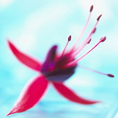Fuchsia, Red subject, Studio shot of red Flower against turquoise background.