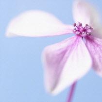 Hydrangea, Studio shot of pink coloured flower against a blue background.