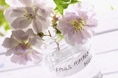 Rose, Rosa 'Paul's Himalayan Musk', Three pink cut flowers in glass jar.