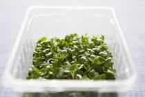 Cress, Lepidium sativum, Green cress growing in plastic container.