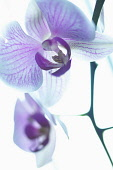 Orchid, Moth orchid, Phalaenopsis, Mauve subject, White background.