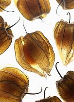 Cape gooseberry, Physalis, Studio shot of backlit fruit.