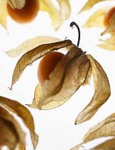 Cape gooseberry, Physalis, Studio shot of backlit fruit
