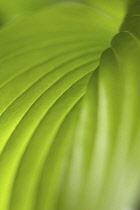 Hosta, Studio close up of green leaf showing pattern.