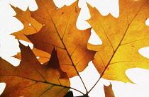 Oak, Pin oak, Quercus palustris, Studio shot of backlit leaves.