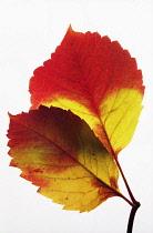Virginia creeper, Parthenocissus quinquefolia, Studio shot of backlit leaves.