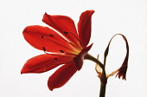 Scarborough lily, Cyrtanthus elatus, Orange subject, White background.