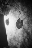 Abstract, Black & white studio shot of leaves and shadow.