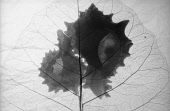 Abstract foliage backlit ,Black & white studio shot.